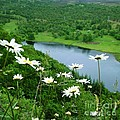 White Daisies At Queen's View 2 by Joan-Violet Stretch