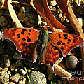 Question Mark Butterfly by Donna Brown