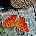 Question Mark Butterfly by Marilyn Smith