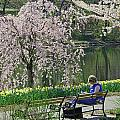 Quiet Time Among The Cherry Blossoms by Allen Beatty
