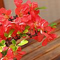 Quince Blossoms by Rachel Cohen
