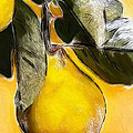 Quince by Steve K