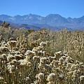 Rabbit Brush Owens Valley by Christine Owens