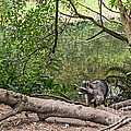Raccoon At The Lake by Kate Brown