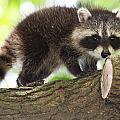 Raccoon Baby by Mike Dickie