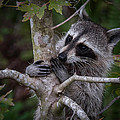 Raccoon by Bill Martin