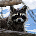 Raccoon by Bruce Arnold