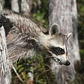 Raccoon by Christiane Schulze Art And Photography