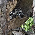 Raccoon Family Time by Connie Mueller