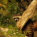 Raccoon by James Peterson