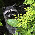 Raccoon Peek-a-boo by Sharon Talson