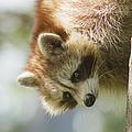 Raccoon Portrait by Mircea Costina Photography