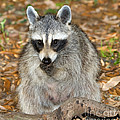 Raccoon Procyon Lotor Adult Foraging by Millard H. Sharp