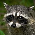 Raccoon by Robert Bales