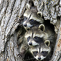 Raccoon Trio At Den Minnesota by Jurgen and Christine Sohns