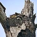 Raccoon Waiting. Lake Marion Creek W.m.a. by Chris  Kusik