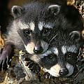 Raccoon Young Procyon Lotor In Tree by Thomas Kitchin & Victoria Hurst