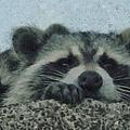 Raccoons Painterly by Ernie Echols