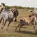Racing Zebras 1 In Color by Tracy Winter