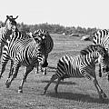 Racing Zebras 1 by Tracy Winter