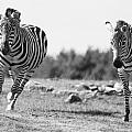 Racing Zebras by Tracy Winter