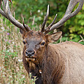 Racked Roosevelt Elk by Greg Nyquist