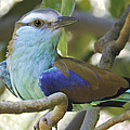 Racket Tailed Roller by Penny Lisowski