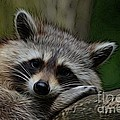 Racoon by Richard Dussault
