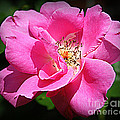 Radiant In Pink - Rose by Dora Sofia Caputo Photographic Design and Fine Art