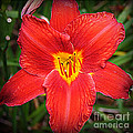 Radiant In Red - Daylily by Dora Sofia Caputo Photographic Design and Fine Art