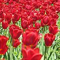Radiant Red by Elizabeth Dow
