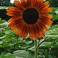 Radiant Sunflower  by Gerald Strine