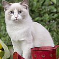 Ragdoll Cat by Jean-Michel Labat