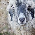 Raggedy Goat by Belinda Greb
