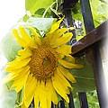 Railed Sunflower by Alice Gipson