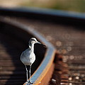 Railroaded Willet  by Andrew McInnes