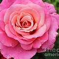 Rain Drenched Rose by Barbara Griffin