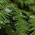 Rain Drops On Cypress by J Arthur Conway
