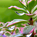Raindrops On Sedum by Cynthia Woods