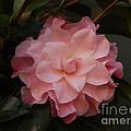 Rain Kissed Camellia by Jacklyn Duryea Fraizer