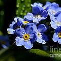 Rain On Forget-me-not by Thomas R Fletcher