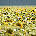 Rain On The Sunflowers by Cheryl Baxter
