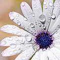 Rain Soaked Daisy by Kaye Menner