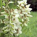 Rain-spangled Locust Flowers by Valerie Kirkwood