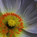Rain Sprinkled White Poppy by Carol Welsh