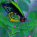 Rainbow Butterfly by Larry Nieland