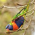 Rainbow Lorikeet 02 by Rick Piper Photography