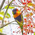 Rainbow Lorikeet In Flame Tree by Sheila Smart Fine Art Photography