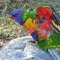 Rainbow Lorikeet by Rob Cruise