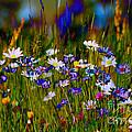 Rainbow Meadow by P Donovan
